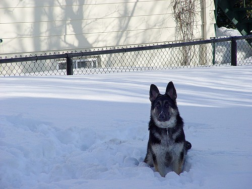 german shepper photo