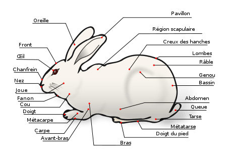 description lapin domestique